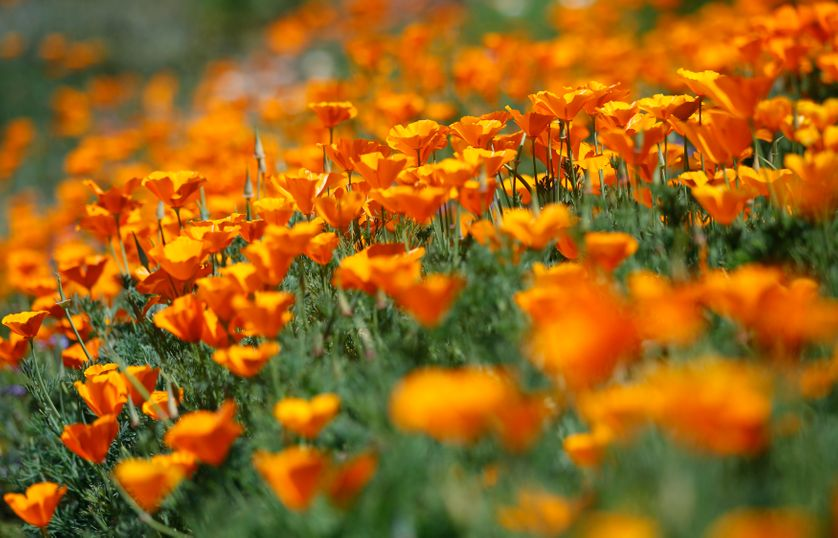 Poppies are seen at the Los Angeles County Arboretum and Botanic Garden in Arcadia, California