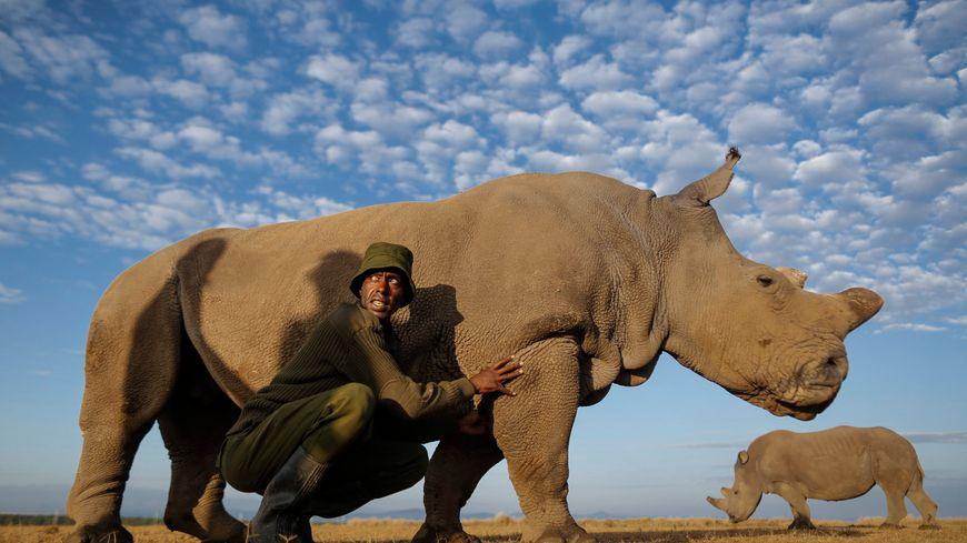 Les trois autres rhinocéros blancs du nord vivent dans une réserve au Kenya