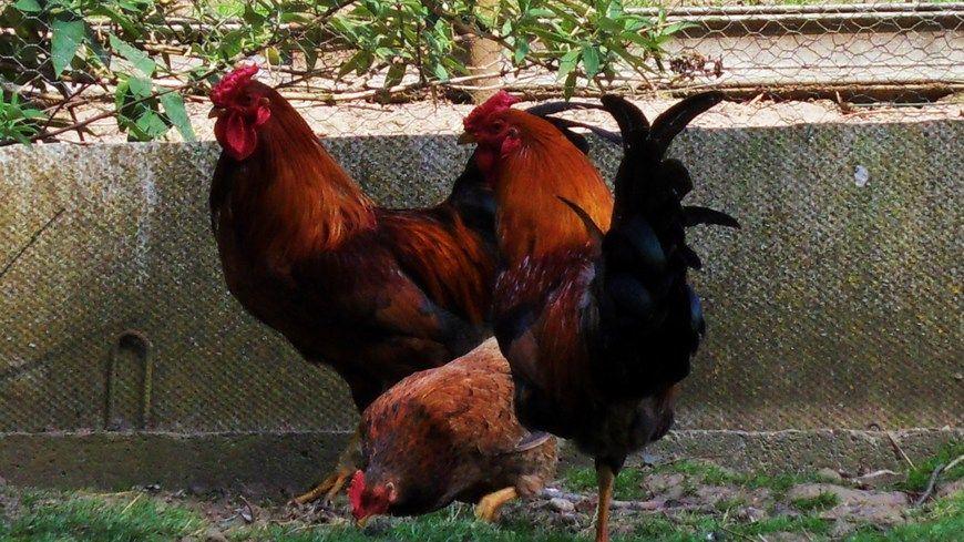 La grippe aviaire détectée en Dordogne
