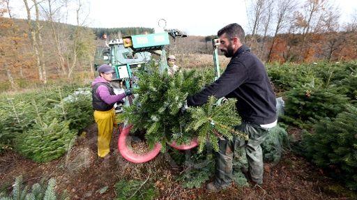 Les producteurs de sapins du Morvan bûchent pour Noël