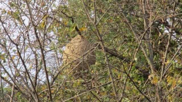 Premier nid de frelons asiatiques découvert à La Voulte