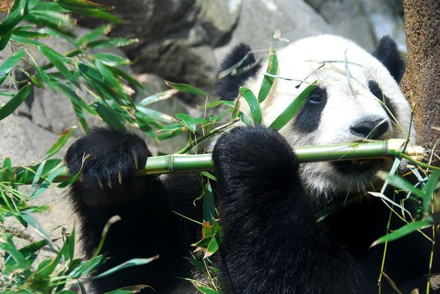 Panda - Parc Zoologique national, Washington, D.C., États-Unis