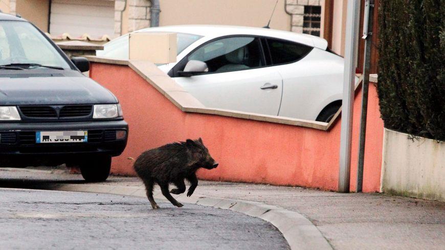Les sangliers s'aventurent parfois dans les zones urbaines