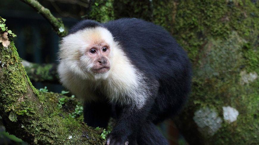 Un singe capucin (illustration)