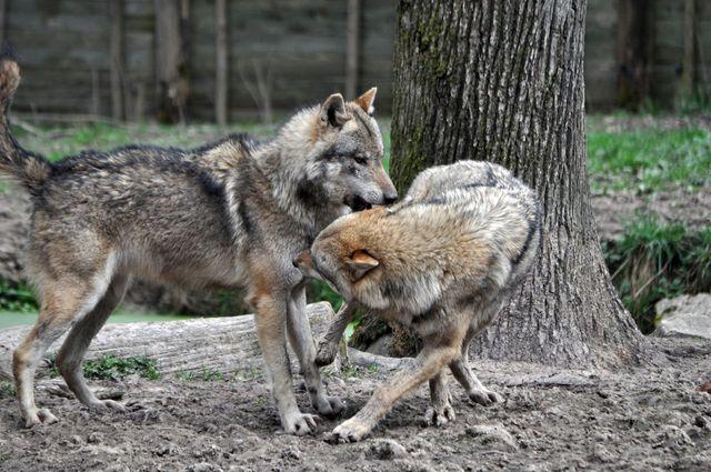 Deux loups gris