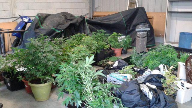 Les enquêteurs ont saisis plus de 500 pieds de cannabis