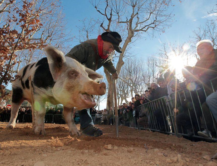 Guy Corriol, le dernier caveur au cochon de la région PACA
