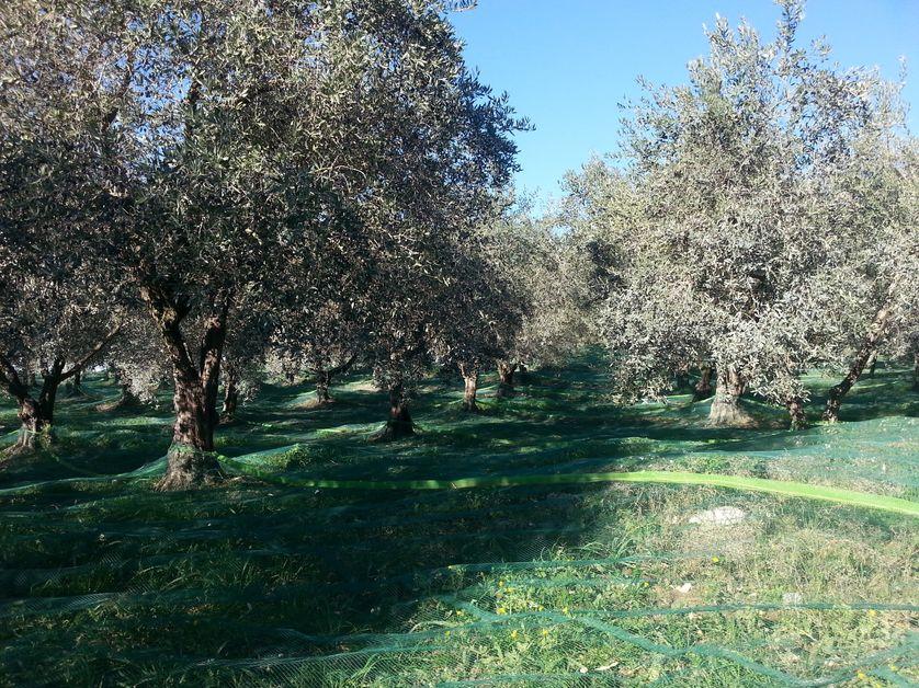 Champs d'oliviers dans le Sud Drôme