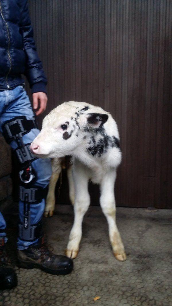 Un veau parmi la délégation reçu par le ss-préfet à Morlaix