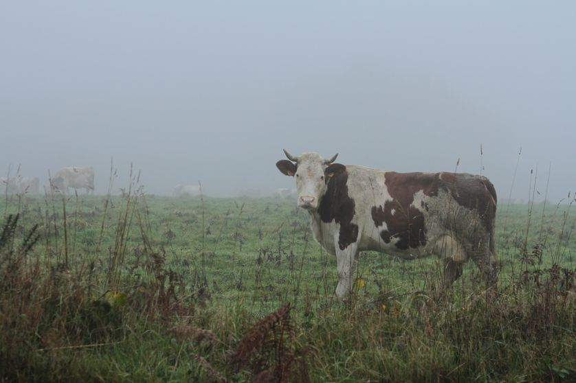 vache bretonne