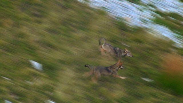 Loups dans le Dévoluy