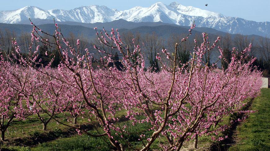 Les Pechers Sont Deja En Fleurs Dans Les Pyrenees Orientales