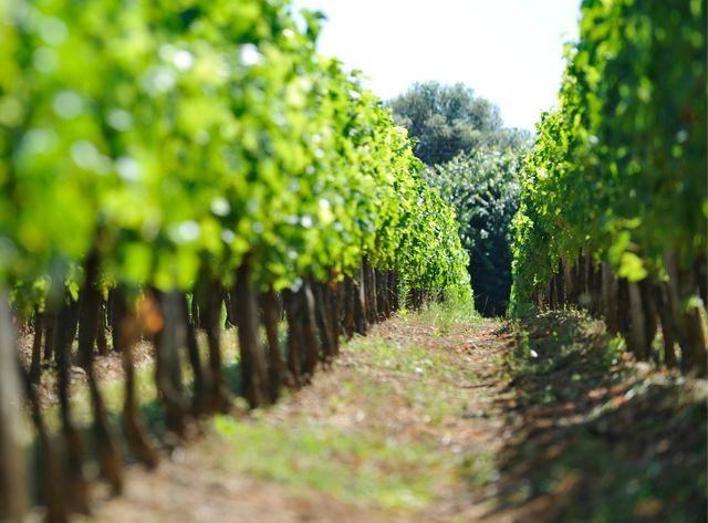 Des pesticides retrouvés dans des maisons proches des vignes du bordelais