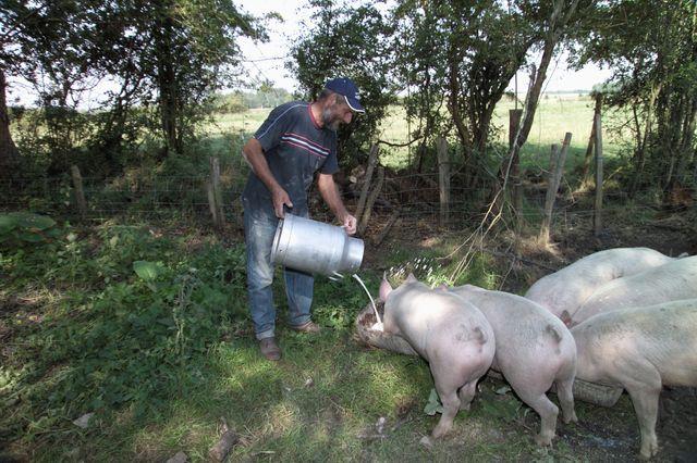 élevage porcin en extérieur