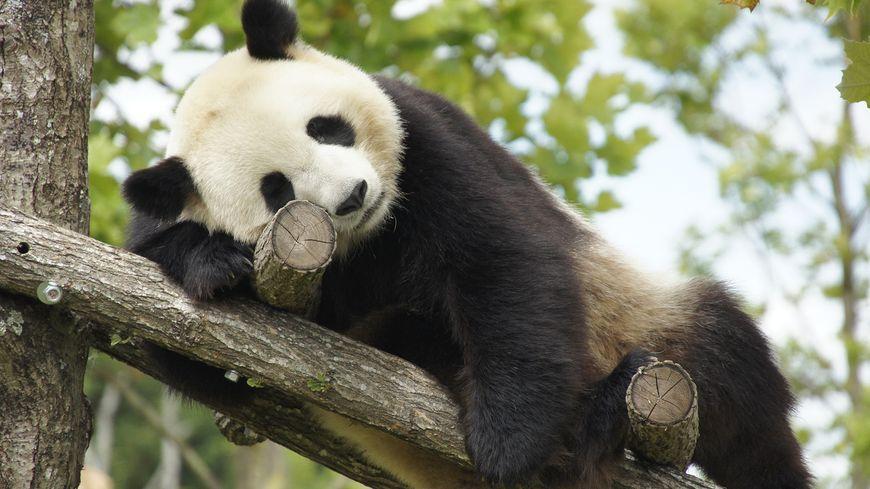 le zoo de beauval tente l 39 ins mination artificielle chez ses pandas. Black Bedroom Furniture Sets. Home Design Ideas