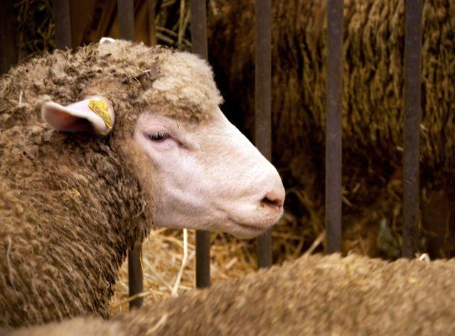 Les moutons rentrent chez eux, le salon se termine dimanche soir