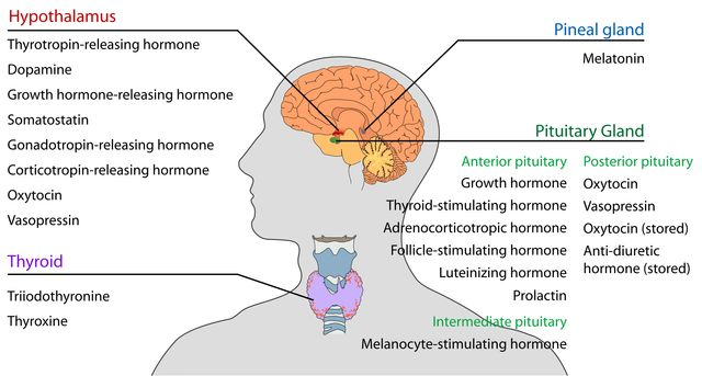 Endocrine_central_nervous_en.svg_.png