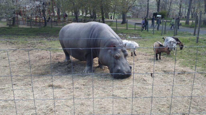 L'hippopotame du zoo d'Ardes sur Couze