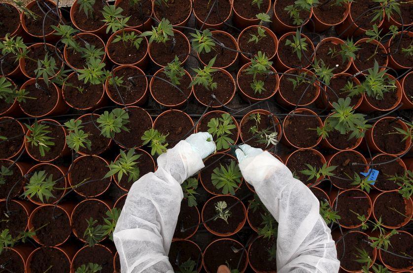 Une plantation de cannabis en Israël, juin 2012
