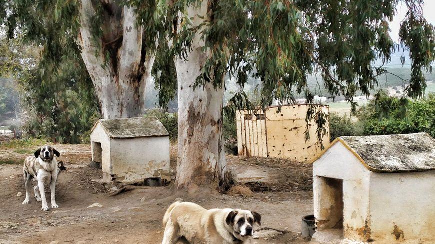 La ganaderia Montalvo élève des chiens, des mastín leon espagnols.
