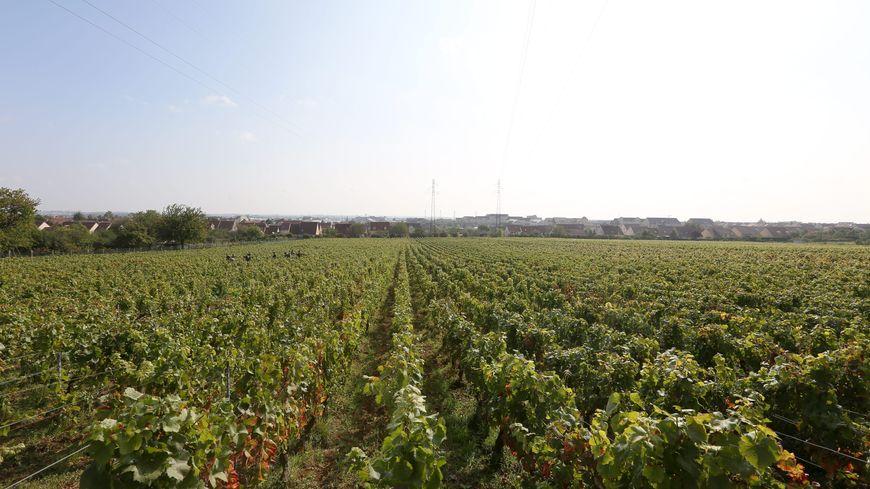 Les vignes subissent de plus en plus les assauts du soleil