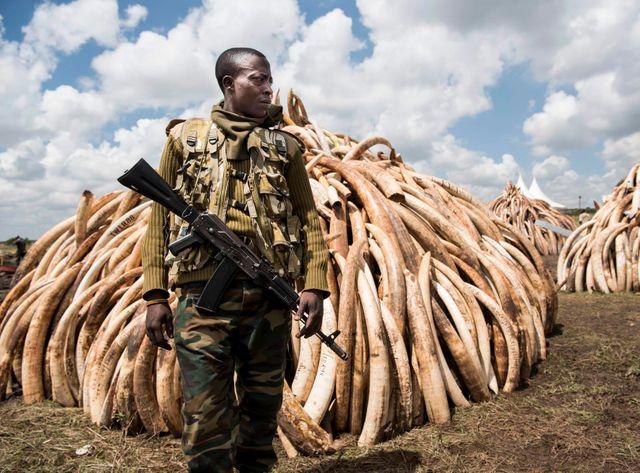 Le Kenya brûle des centaines de tonnes d'ivoire