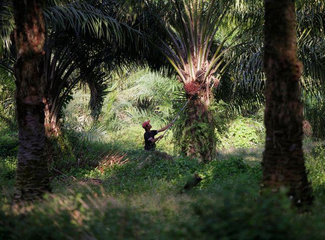 L'huile de palme parmi les produits surexploités