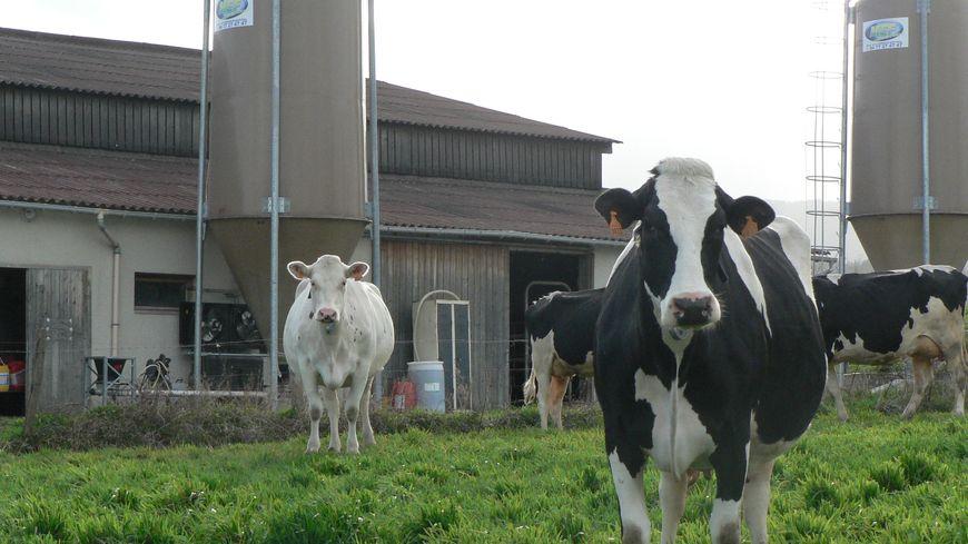 Du lait produit dans la Loire bientôt expédié en Chine (illustration)