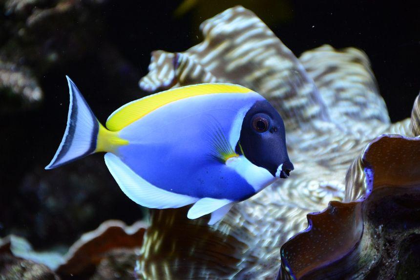 Un chirurgien bleu, dans un des aquariums d'Aqua Art Design