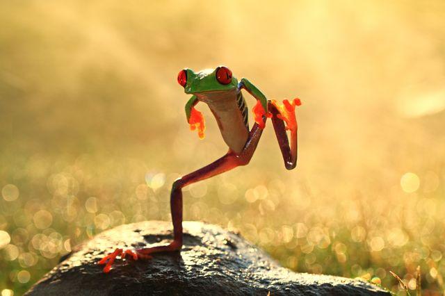 La grenouille qui danse