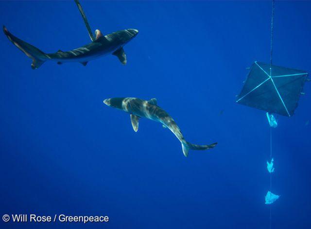 Les requins, notamment les plus jeunes, sont attirés par ces petits radeaux..