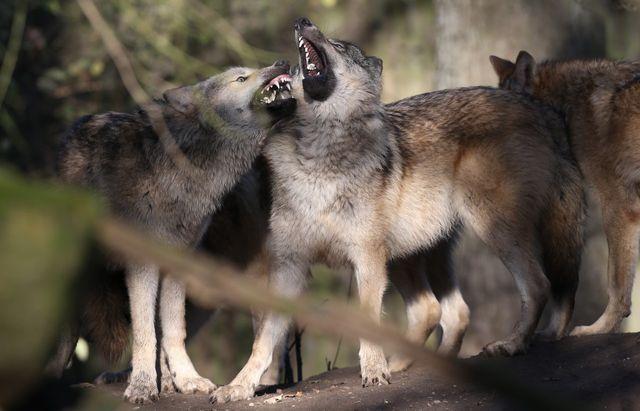 Cinq jeunes loups mâles Timberwolf de Mulhouse (France) et Saerbeck (Allemagne) ont été déplacés au zoo