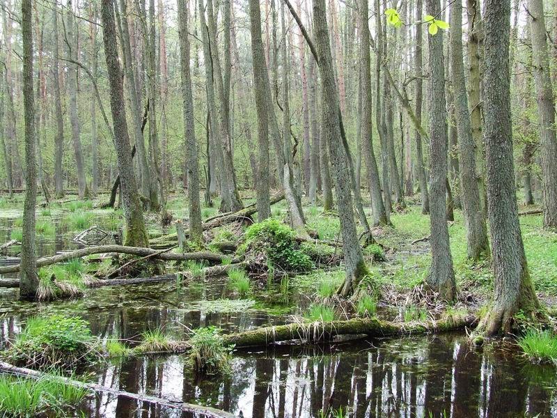 La forêt de Kampinos en Pologne, très fréquentée par les visiteurs