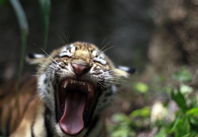 le tigre du bengale renaît au népal