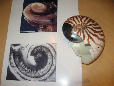 le nautile, mollusque de Nouvelle Calédonie, qui présente la  même forme en spirale que la cochlée, organe de l'oreille interne