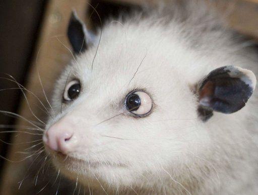 Heidi l'opossum qui louche.