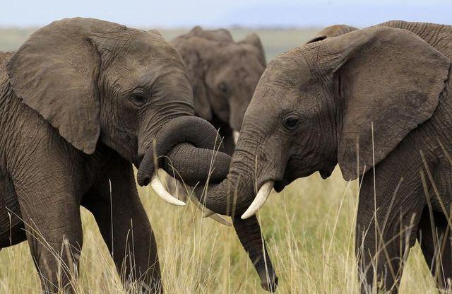 onze mille éléphants tués au gabon depuis 2004