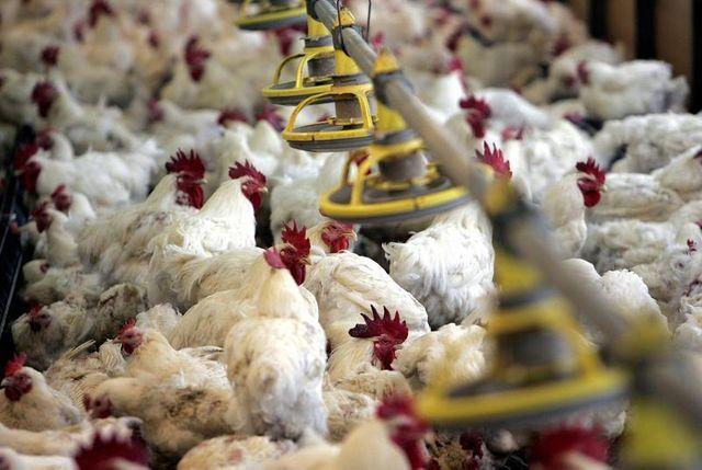 la suppression des aides européennes à l'export de poulet suscite un tollé en france