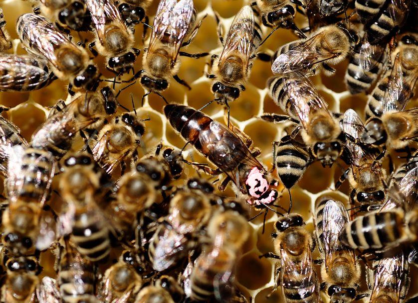 Une abeille reine au milieu d'autres abeilles