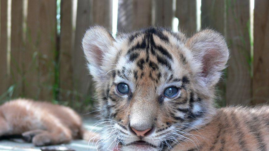 Assez Des dealers proposaient des selfies avec un bébé tigre ZH54