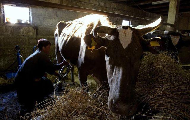 l'élevage laitier menacé de disparition, selon un rapport