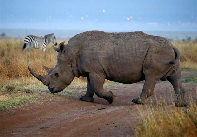 350.000 dollars pour chasser un rhinocéros