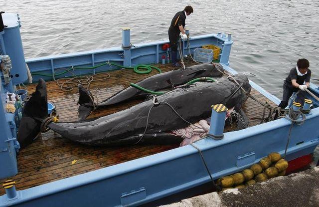 le japon va continuer à chasser la baleine dans le pacifique