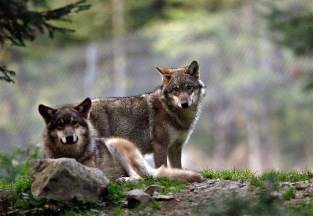 davantage de loups pourront être abattus en france à partir de 2013
