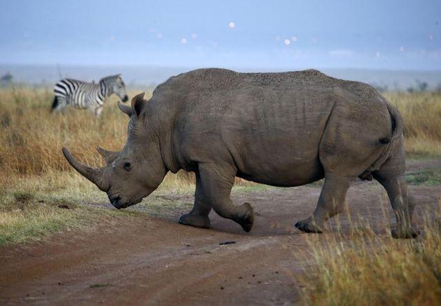 les derniers rhinocéros d'afrique en danger