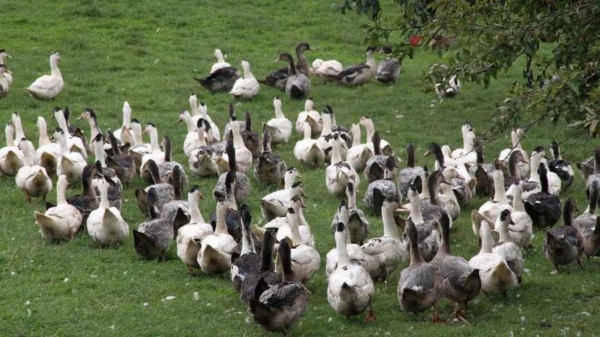 Un élevage de canard et d'oie (photo d'illustration)