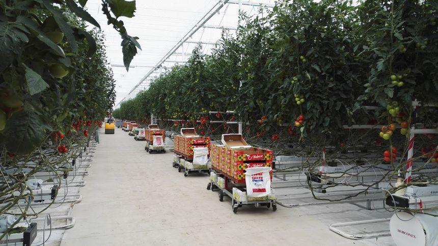 8267e68f266b33 L objectif est d atteindre 62 kilos de tomates au mètre carré. -