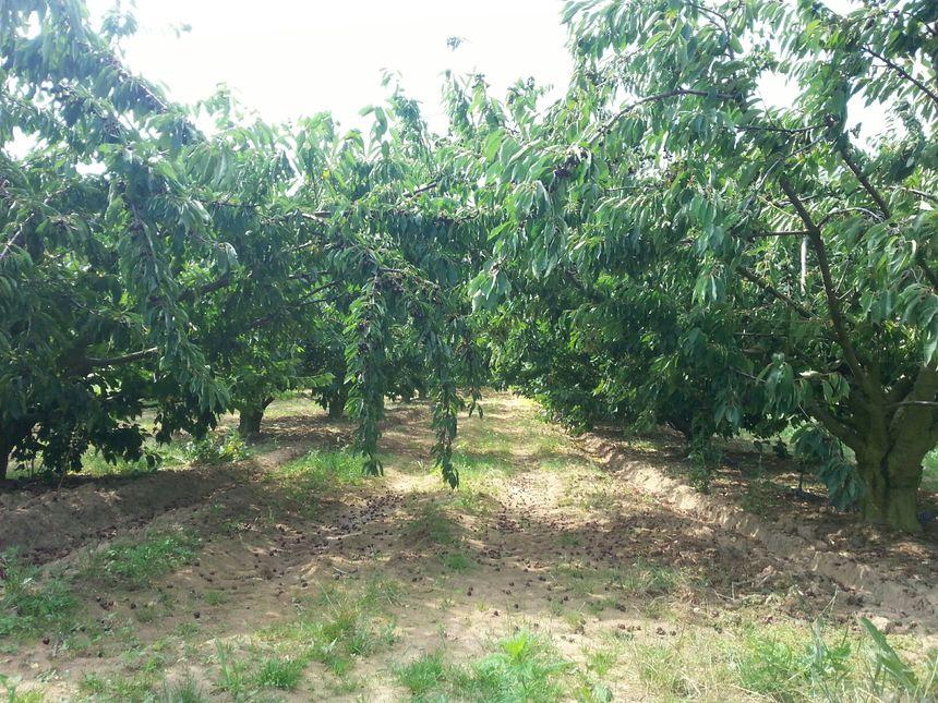 Un verger de cerisiers à Lemps, dont la production a fortement chuté à cause de la Drosophila Suzukii.