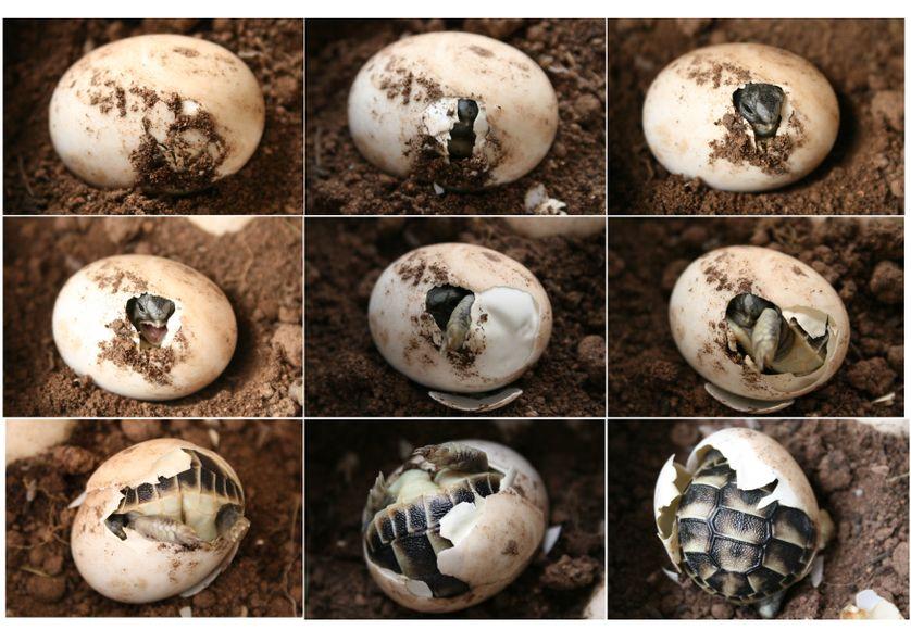 Un même œuf de tortue peut donner un mâle ou une femelle en fonction de la température.  L'utilisation des gènes codant soit pour l'un soit pour l'autre, dépend donc d'un phénomène épigénétique