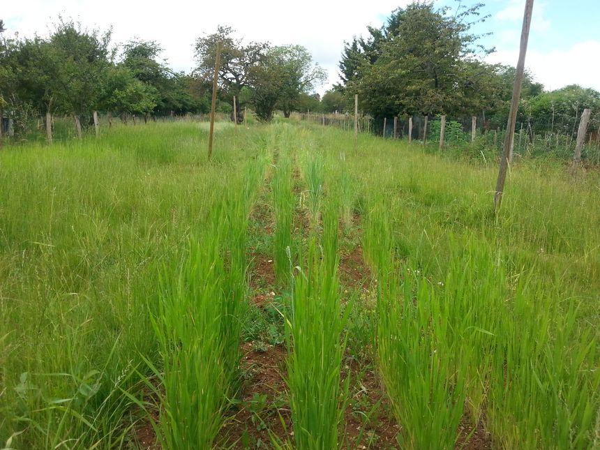 La parcelle de blé pédagogique mis au point avec l'association Graines de Noé